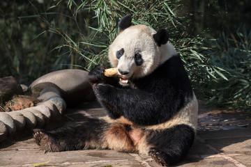 Fotomurales - Panda Bear Chewing Bamboo Leaves in Ya'an Sichuan Province, China. Panda