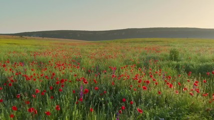 Wall Mural - Flight over field of red poppies at sunset. Beautiful flowers and spring nature composition.