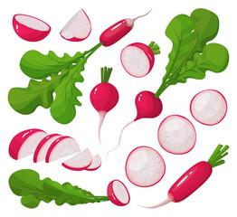 Fototapeta Red radish vector cartoon set icon. Vector illustration vegetable on white background. Isolated cartoon set icon red radish. obraz