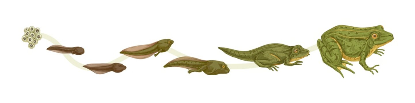 Realistic colorful stages of frogs life cycle isolated on white background. Set of frog metamorphosis colored vector graphic illustration. Reproduce transformation process of amphibian