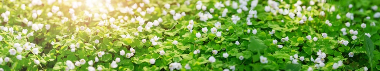 Foto auf Gartenposter Grun Wood with lots of white spring Oxalis flowers in sunny day