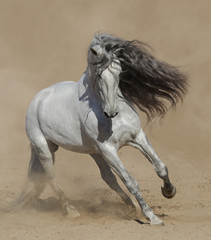 Fototapete - Light gray Purebred Spanish horse playing on sand.