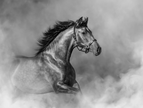 Andalusian horse in halter in light smoke in motion.
