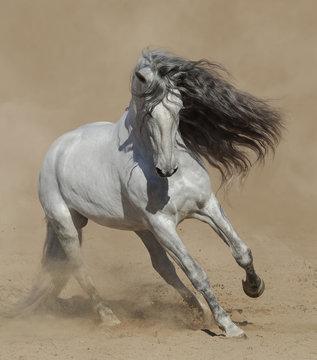 Light gray Purebred Spanish horse playing on sand.