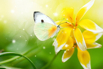 Wall Mural - Bright beautiful white butterfly on exotic yellow flower on green background in nature spring summer outdoors close-up macro. Colorful amazing splendid best artistic image harmony of nature.