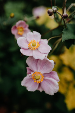 close-up of pink autumn anemone Anemone hupehensis flowers in garden