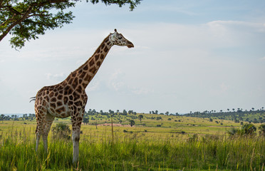 Photo sur Toile Girafe Single giraffe looking over green grassland
