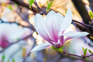 magnolia in sun light. beautiful springtime background