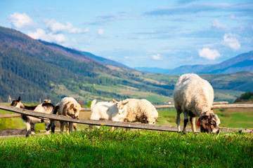 goat and sheep grazing on the alpine meadow. beautiful scenery with green grass on the hill, rural valley and distant ridge in evening light. wonderful sunny weather in springtime