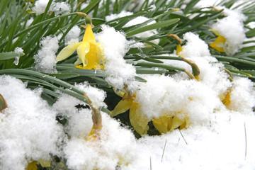 Photo sur Aluminium Narcisse Schneefall im Frühling mit Blumen und Blüten - Spring snowfall with flowers and blossoms