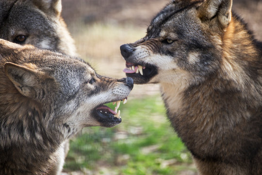 fighting wolves