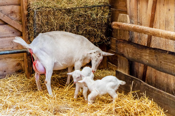 Mother goat just after labor together with two newborn baby goats in a farm barn