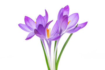 spring purple little crocus flowers isolated on white