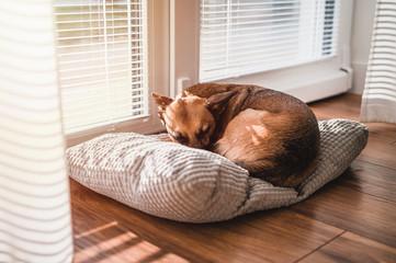 Small brown dog sleeping by window. Sleeping dog by sunset.