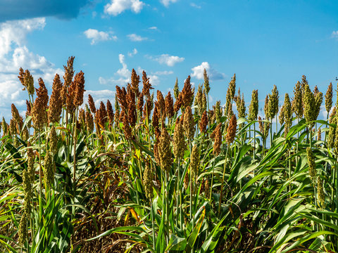 Sorghum bicolor is a genus of flowering plants in the grass family Poaceae. Native to Australia, with the range of some extending to Africa, Asia and certain islands in the Indian and Pacific Oceans