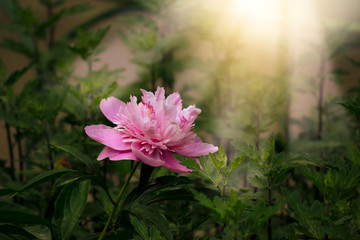 Wall Mural - Blooming spring peony flower in fabulous garden on mysterious fairy tale springtime floral sunny background with sun light beams and rays, fantasy amazing nature landscape with pink peonies bloom