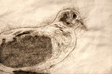 Wall Mural - Sketch of Profile of a Perched Mourning Dove