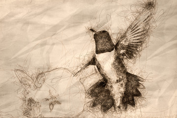 Wall Mural - Sketch of a Black-Chinned Hummingbird Searching for Nectar Among the White Flowers