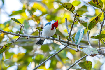 Red crested Cardinal photographed in Corumba, Mato Grosso do Sul. Pantanal Biome. Picture made in 2017.