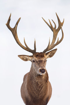Beautiful closeup of a deer with antlers on isolated background