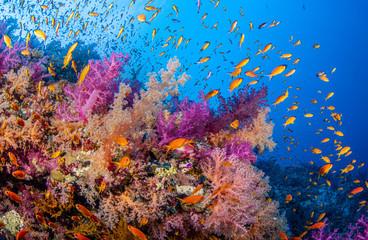 Bunte Weichkorallen in Ras Mohammed im Roten Meer in Ägypten