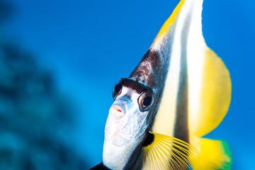Wimpelfisch im Roten Meer in Ägypten