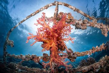 Bunte Weichkorallen am Wrack der Balena im Roten Meer in Ägypten