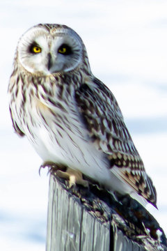 Short-eared Owl - Asio flammeus, perched at a wildlife refuge. Kelly's Slough, North Dakota #6