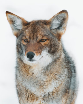 Close up of coyote