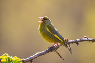 Greenfinch Chloris chloris bird singing Fototapete