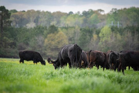 Angus herd grazing lush ryegrass