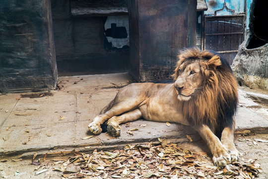 Lion lie down in open cage background. Male lion relaxing and resting on stone floor