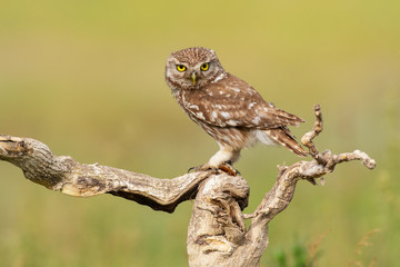 Fototapete - The Little Owl Athene noctua. Adult owl sits on a in the stick beautiful evening light. Portrait