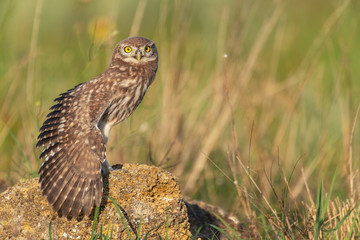 Fototapete - The Little Owl Athene noctua, a young owl sits on a rock with its wing open