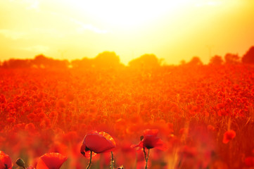 Photo sur Aluminium Rouge Field with red poppies flowers at sunset. A beautiful view of the flowering of millions of poppies. Selective artful focus.