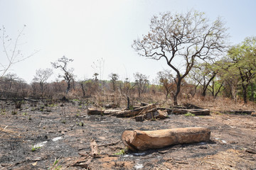Scattered rosewood logs are seen on scorched earth at an area harvested for timber in the Outamba-Kilimi national park
