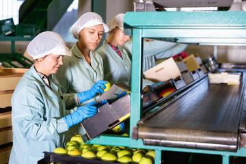 Focused women working on fruit sorting line at warehouse, checking quality of apples