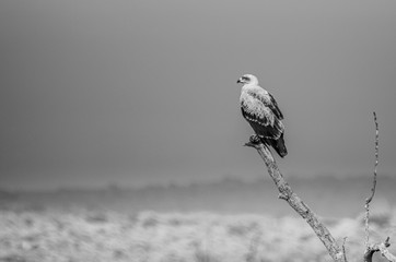 Tawny Eagle bird of prey in monochrome Wall mural