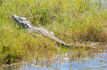 Garden Poster Crocodile Krokodil im Etosha National Park in Namibia Südafrika