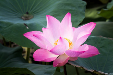 Printed roller blinds Water lilies Beautiful lotus flower or Water lily on the water in a park close-up.