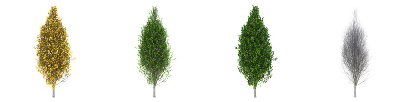 Pyramidal European hornbeam young grown real trees isolated on alpha channel with clipping path. Carpinus betulus in all seasons.3d rendering for digital composition.
