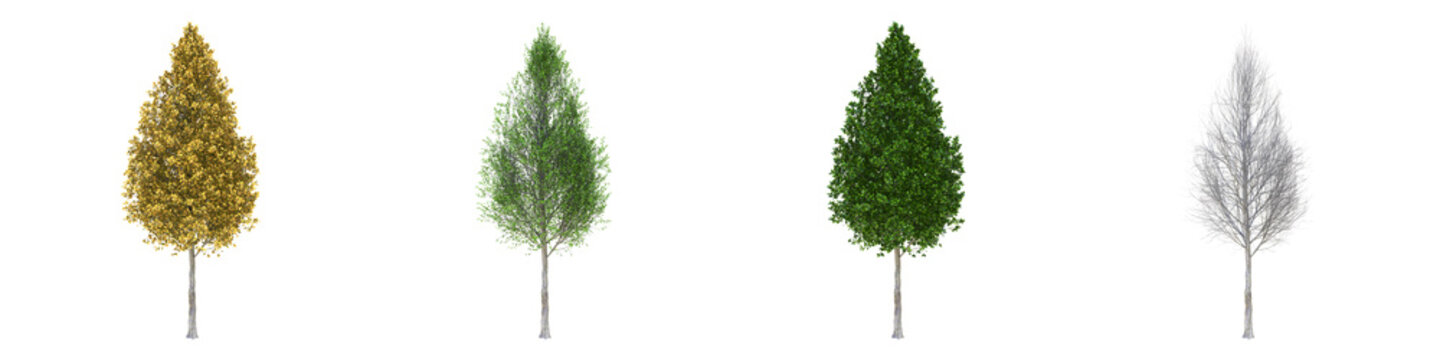 Pyramidal European hornbeam middle-size real trees isolated on alpha channel with clipping path. Carpinus betulus in all seasons.3d rendering for digital composition.
