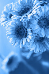 Fototapete - trend color of the year 2020 classic blue. beautiful gerbera flowers bouquet in vase