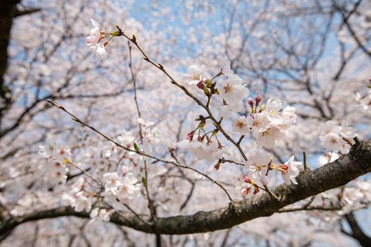 桜と青空 権現堂桜堤にて 埼玉県幸手市