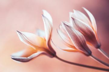 Tulipany botaniczne Tarda