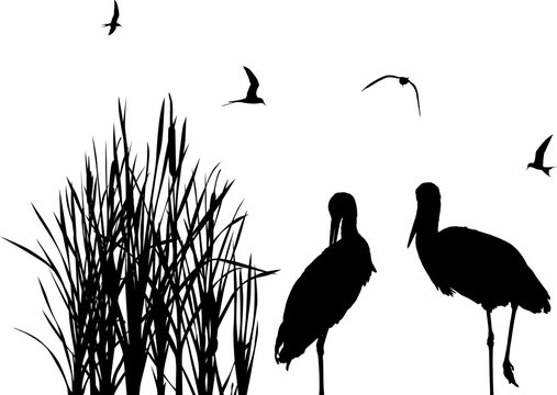 gulls above two storks between black reeds