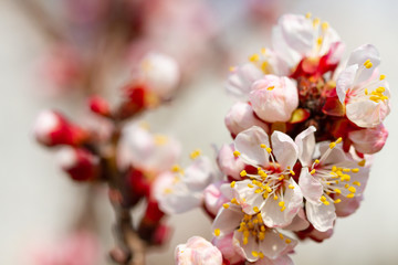Wall Mural - Pink blooming apricot flowers