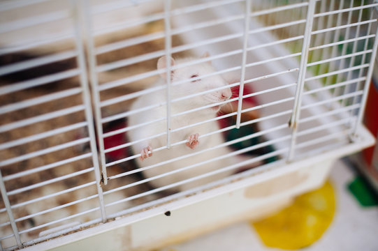 white mouse in a cage. animal experiments