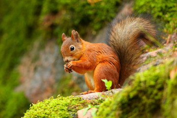Foto op Aluminium Eekhoorn Red squirrel eating with green background