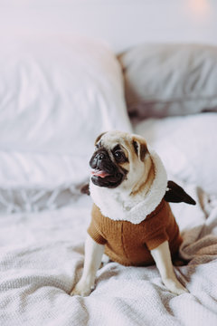 Pug male dog with cream colored fur lying on a white blanket
